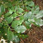 Common Buckthorn